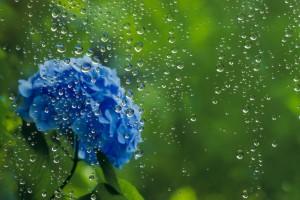 梅雨  | あじさい